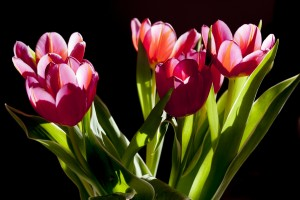 tierarzt notdienst berlin tulpen
